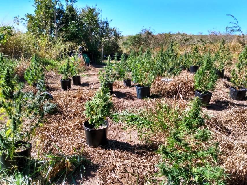 Equipe do Canil da GM e PM localizam plantação de maconha